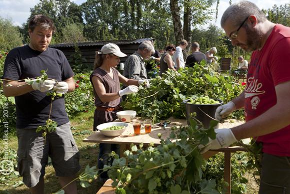 Hop plukken aan lange tafels in het hopveld