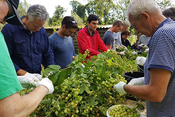 ijverig plukken voor de Fresh Hop van Brouwerij De Molen