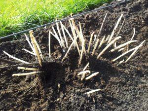 Uitgegraven hopscheuten op het hopveld