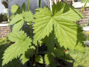 De eerste blaadjes van de frisgroene hopplanten