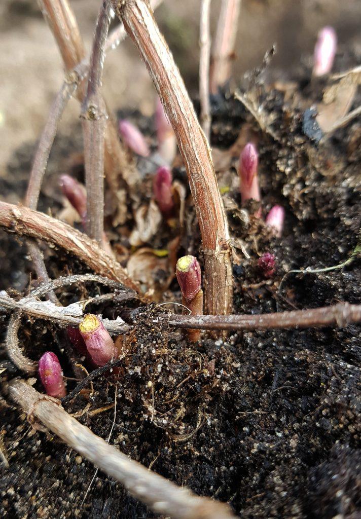 Hopplant met eerste uitlopers