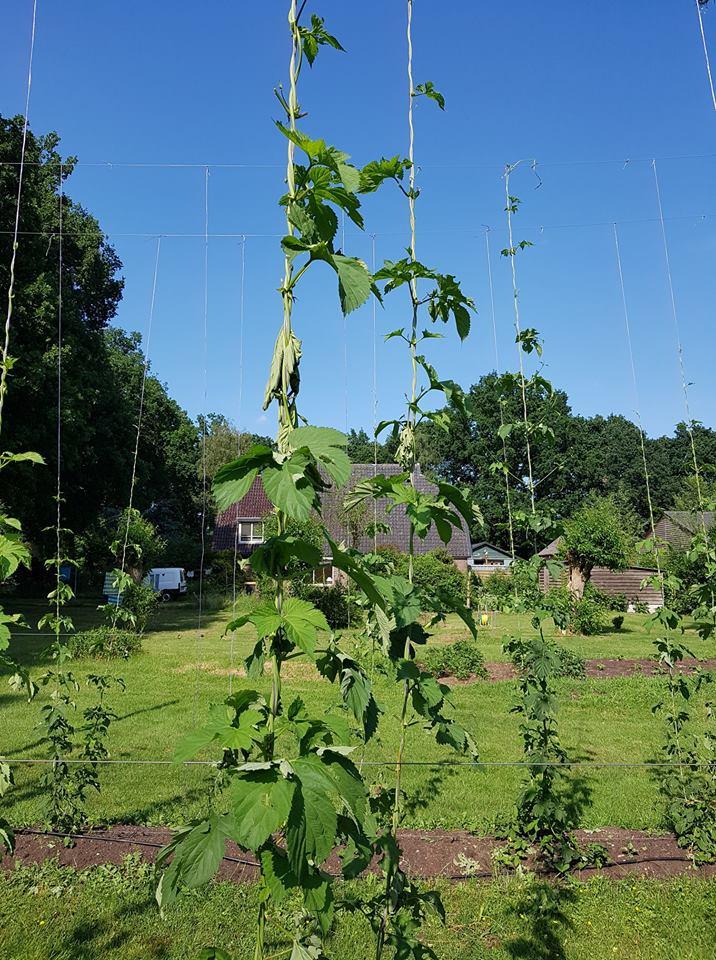 Hopschade op het hopveld: tegenvaller voor teler