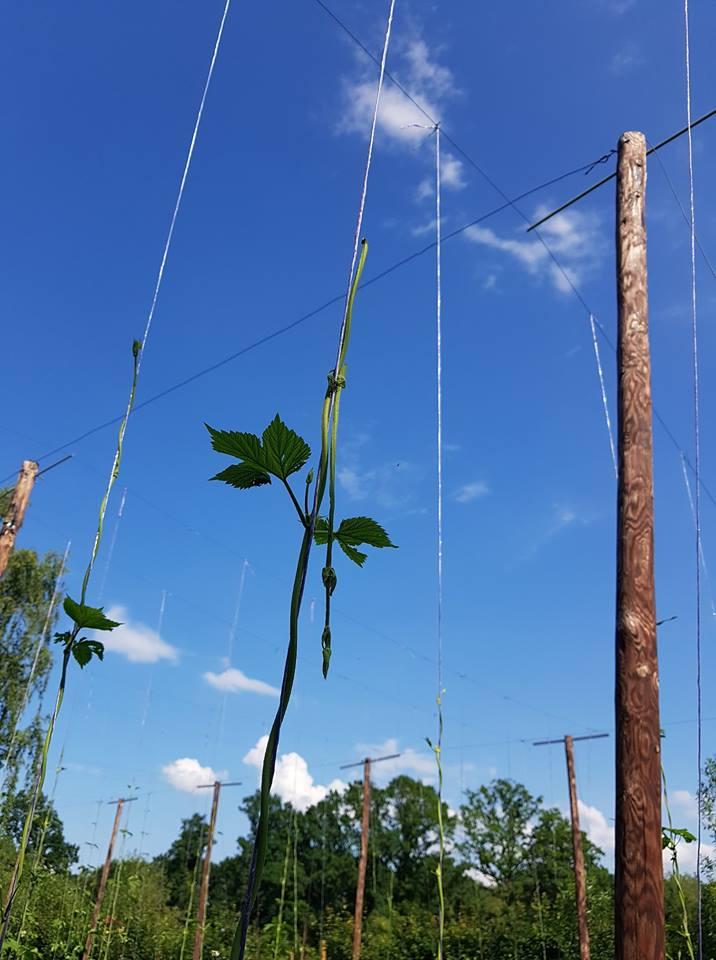Hagelschade op het hopveld: afgebroken rank