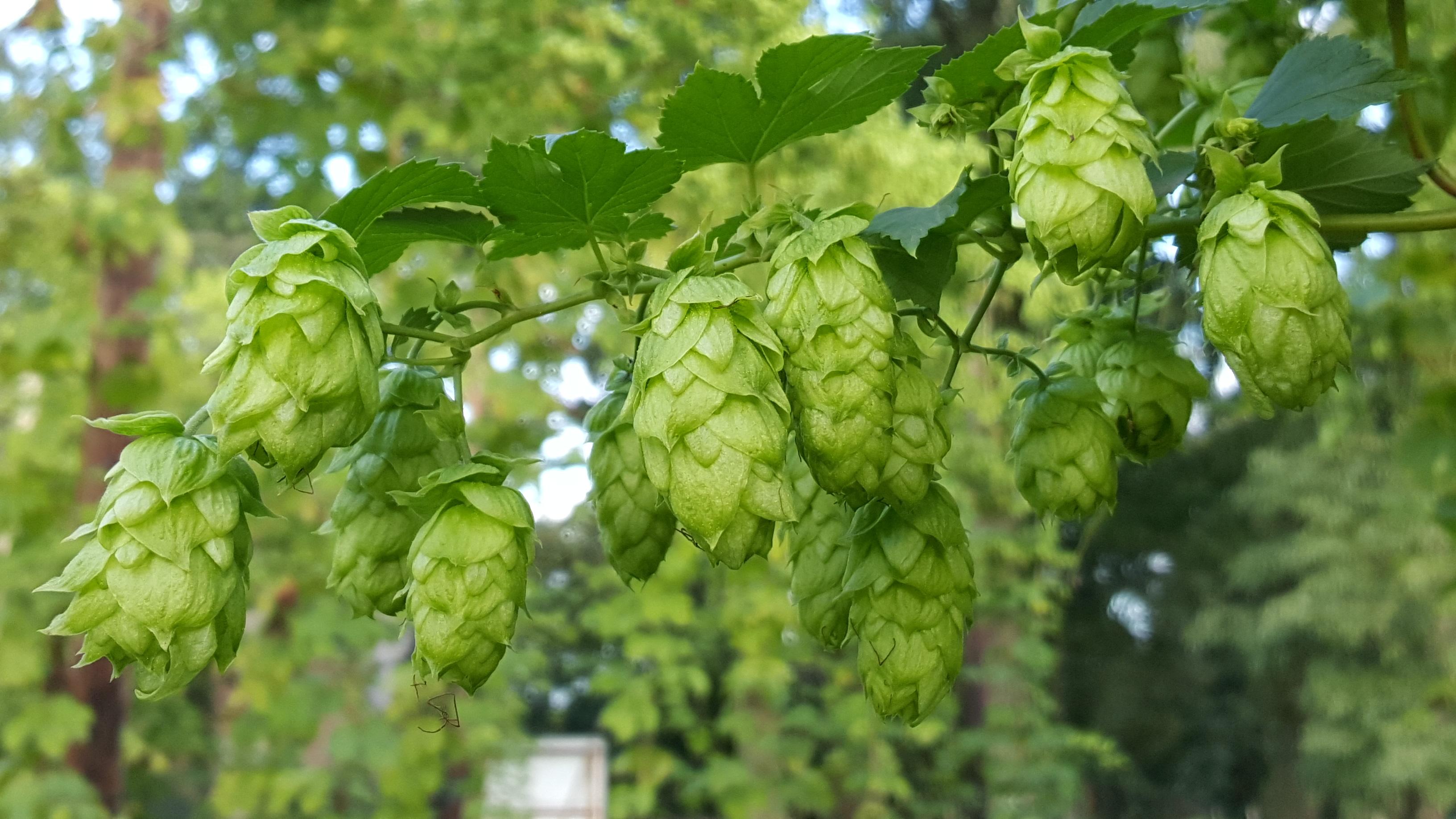 Dit jaar prachtige hopbellen bij Bierevents
